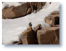 kaya sıvacı kuşu