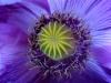 Haşhaş çiçeği, Clandiras Su Kemeri Yolu