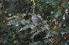 İspinoz - Common Chaffinch (Fringilla coelebs)