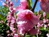Bahçeşehir, Şeftali çiçekleri