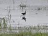Kız kuşu – Northern Lapwing (Vanellus vanellus)