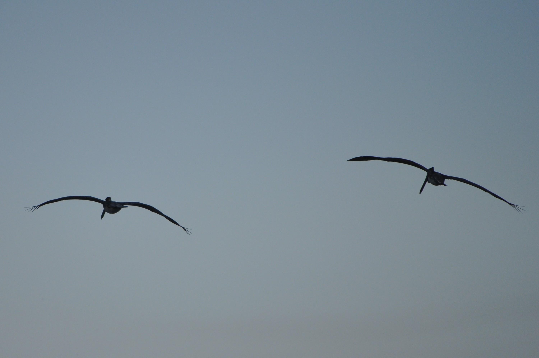 Kahverengi Pelikan