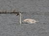 Kuğu - Mute Swan (Cygnus olor)