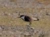 Mahmuzlu kız kuşu - Spur-winged Lapwing (Vanellus spinosus)