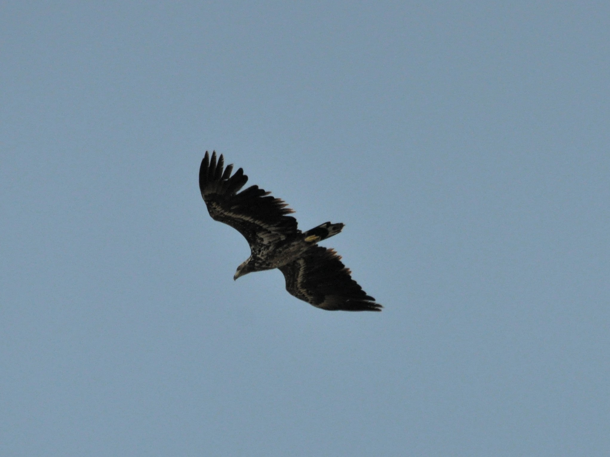 Şahin - Eurasian Buzzard (Buteo buteo)