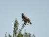 Yılan Kartalı - Short-toed Snake-eagle (Circaetus gallicus)