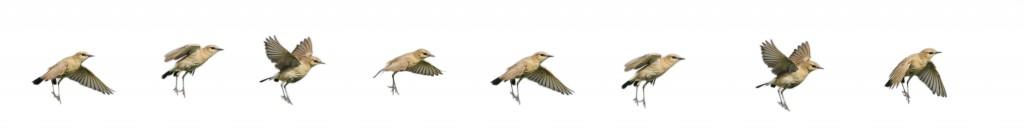 Boz kuyrukakan - Isabelline wheatear